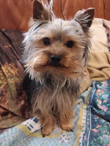 Oréo mon pitre ( Yorkshire terrier) - Page 2 53557011
