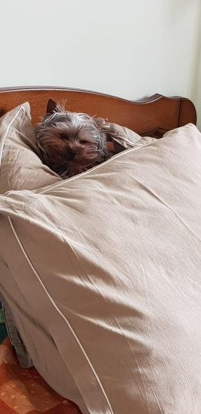 Oréo mon pitre ( Yorkshire terrier) - Page 2 54518911