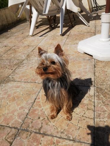 Oréo mon pitre ( Yorkshire terrier) - Page 2 64737310