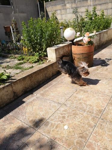 Oréo mon pitre ( Yorkshire terrier) - Page 2 65308310