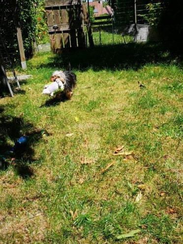 Oréo mon pitre ( Yorkshire terrier) - Page 2 65375410
