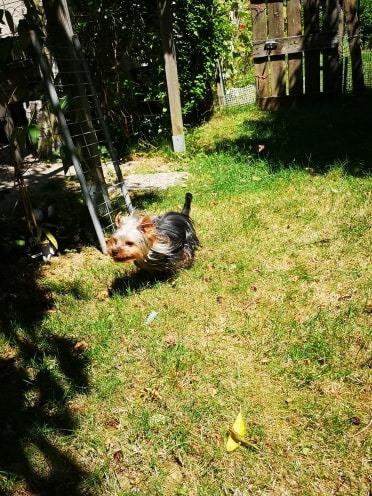 Oréo mon pitre ( Yorkshire terrier) - Page 2 66028910