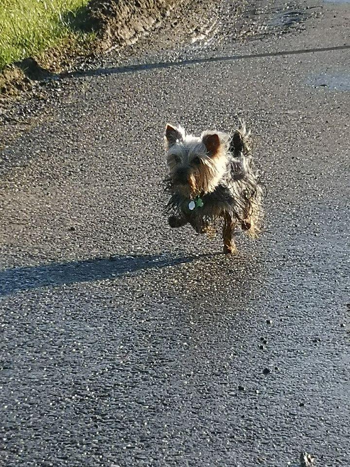 Oréo mon pitre ( Yorkshire terrier) - Page 3 82278410