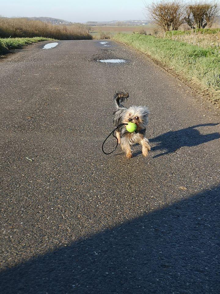 Oréo mon pitre ( Yorkshire terrier) - Page 3 82479410