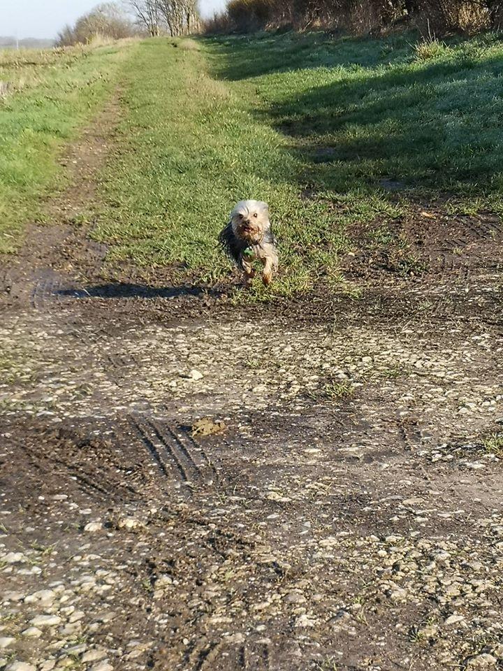 Oréo mon pitre ( Yorkshire terrier) - Page 3 82851710