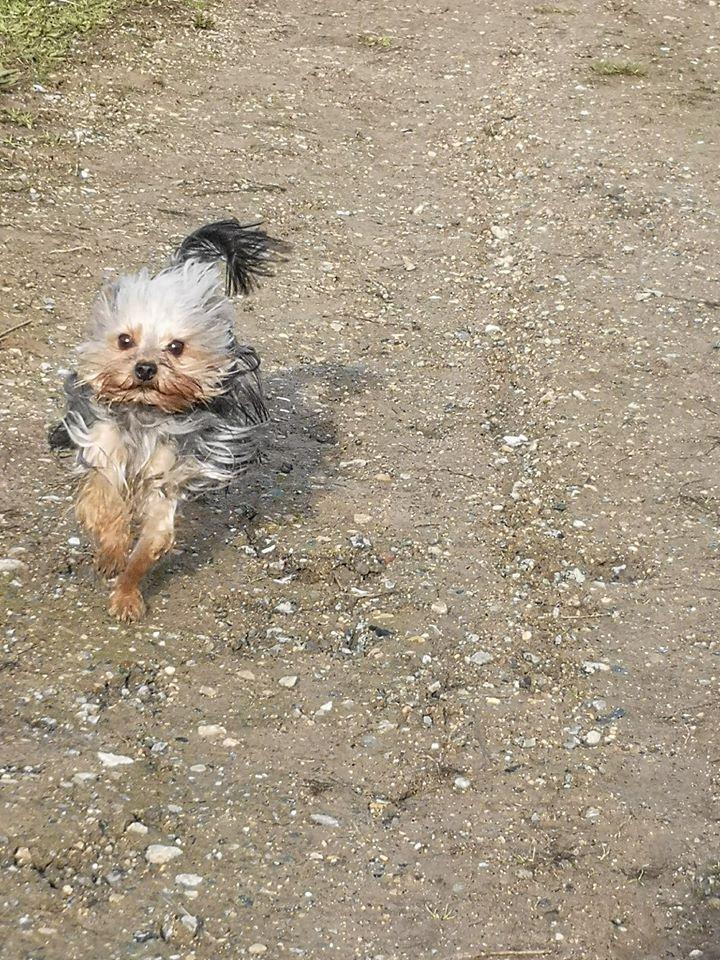 Oréo mon pitre ( Yorkshire terrier) - Page 3 83240410
