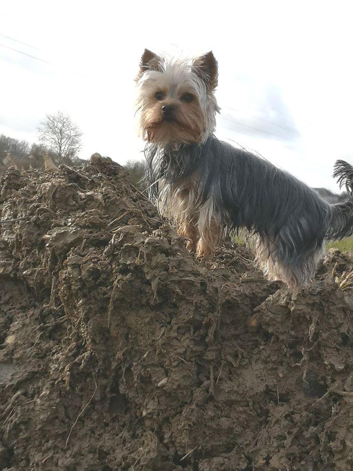 Oréo mon pitre ( Yorkshire terrier) - Page 3 83322010