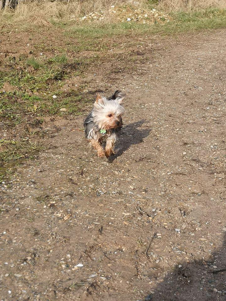 Oréo mon pitre ( Yorkshire terrier) - Page 3 83742010