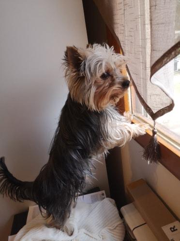 Oréo mon pitre ( Yorkshire terrier) - Page 3 83982410