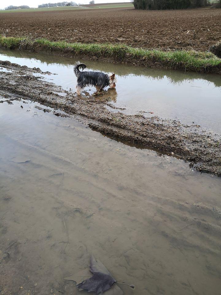 Oréo mon pitre ( Yorkshire terrier) - Page 3 84057610