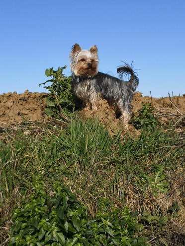 Oréo mon pitre ( Yorkshire terrier) - Page 3 84358910