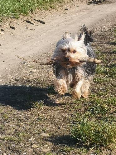 Oréo mon pitre ( Yorkshire terrier) - Page 3 85065210