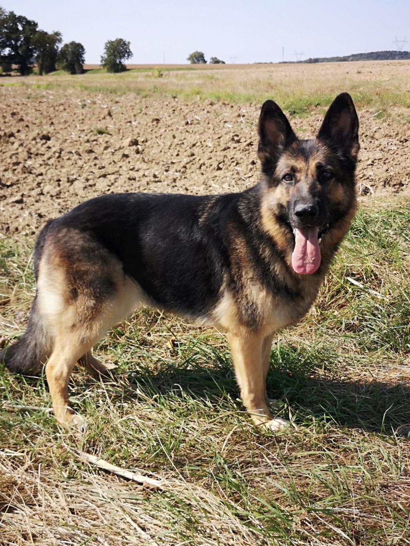 OREO (Yorkshire terrier )  Bichet14