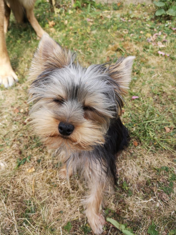 """Oréo Mon petit """" Microbe^^"""" ( Yorkshire Terrier ) - Page 6 Foufou14"""