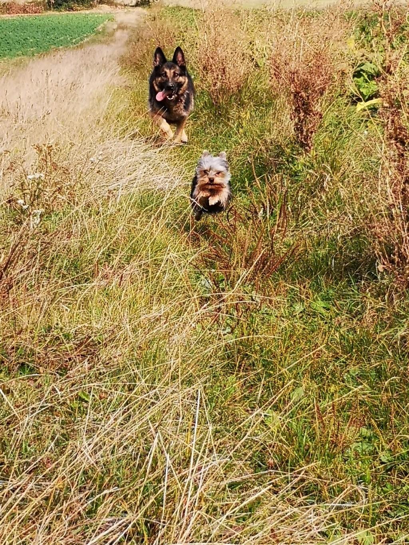 OREO (Yorkshire terrier )  - Page 2 Foufou23