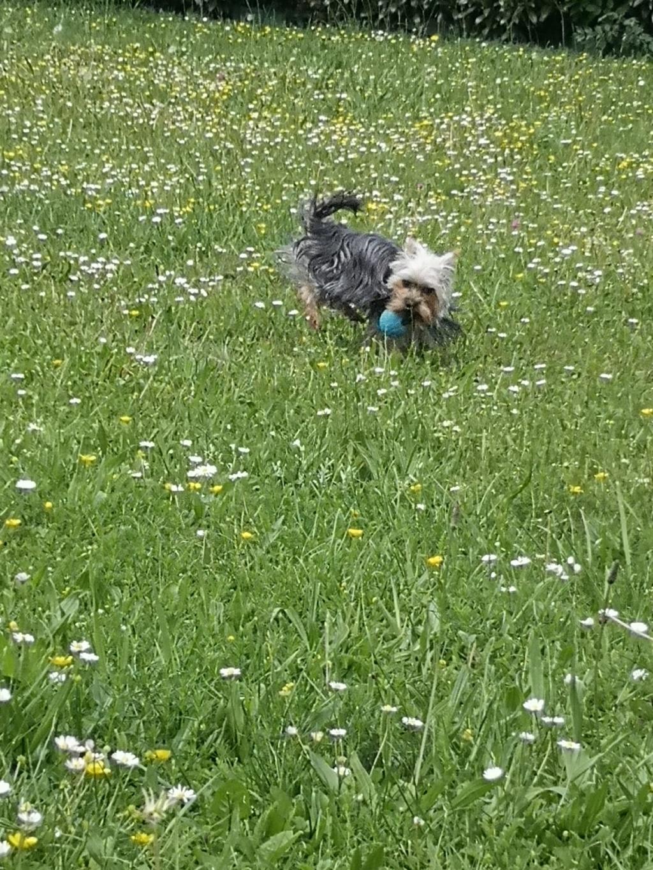 Oréo mon pitre ( Yorkshire terrier) - Page 4 Img_2260