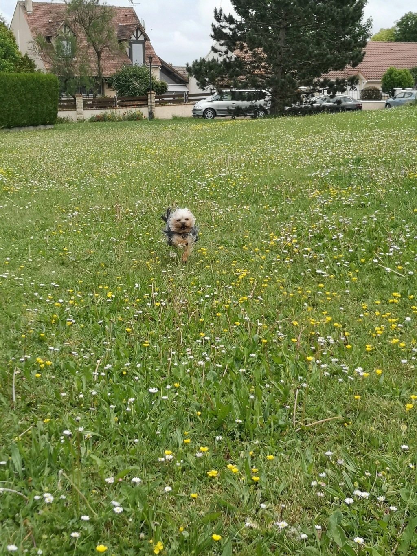 Oréo mon pitre ( Yorkshire terrier) - Page 4 Img_2261