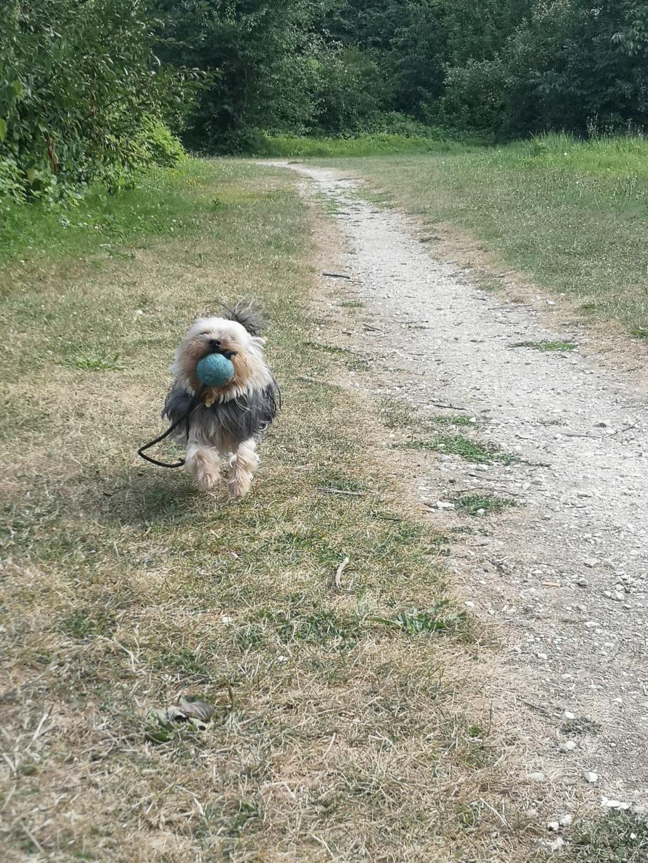 Oréo mon pitre ( Yorkshire terrier) - Page 5 Img_2304