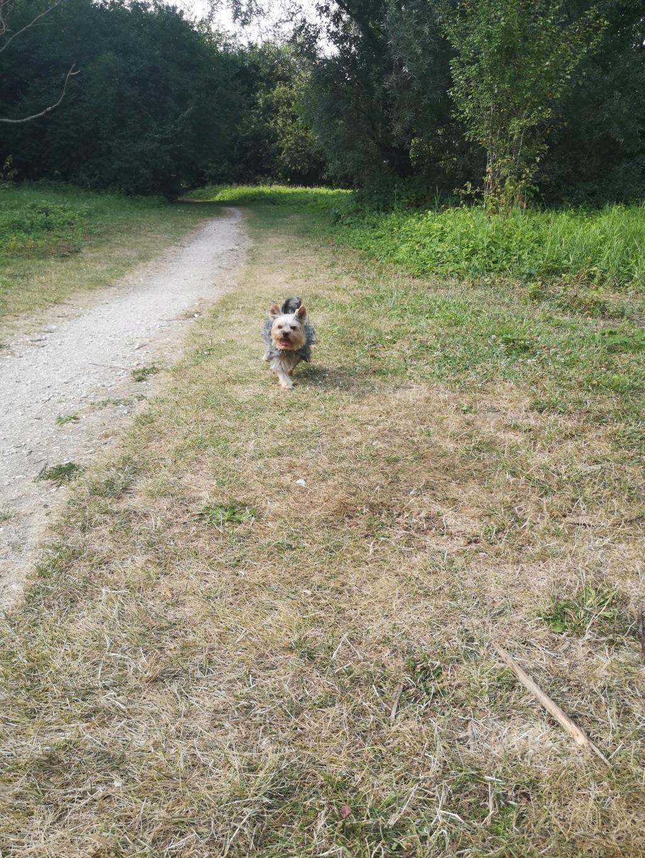 Oréo mon pitre ( Yorkshire terrier) - Page 5 Img_2307