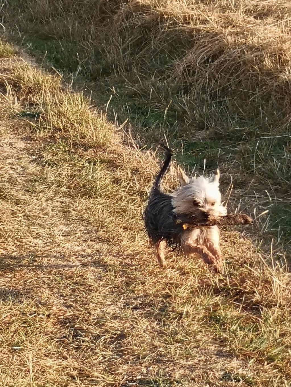 Oréo mon pitre ( Yorkshire terrier) - Page 6 Img_2311