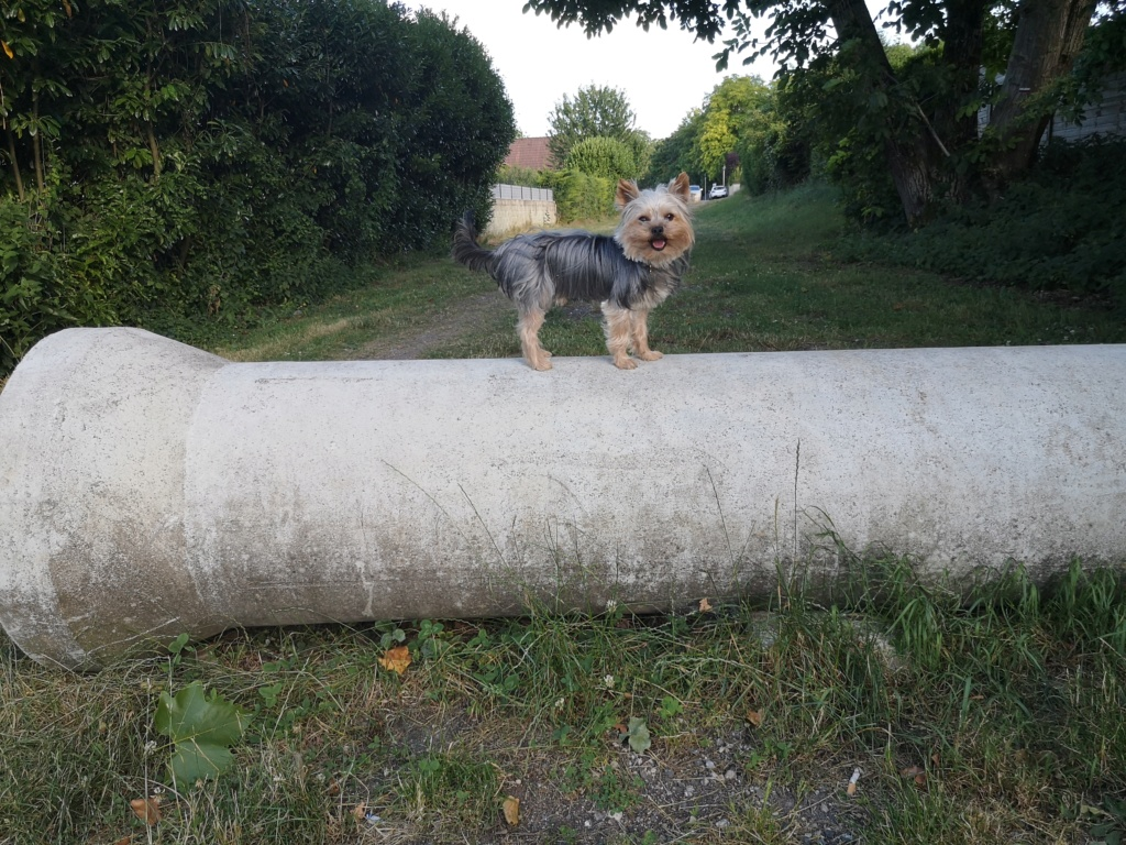 Oréo mon pitre ( Yorkshire terrier) - Page 4 Mon_gr11