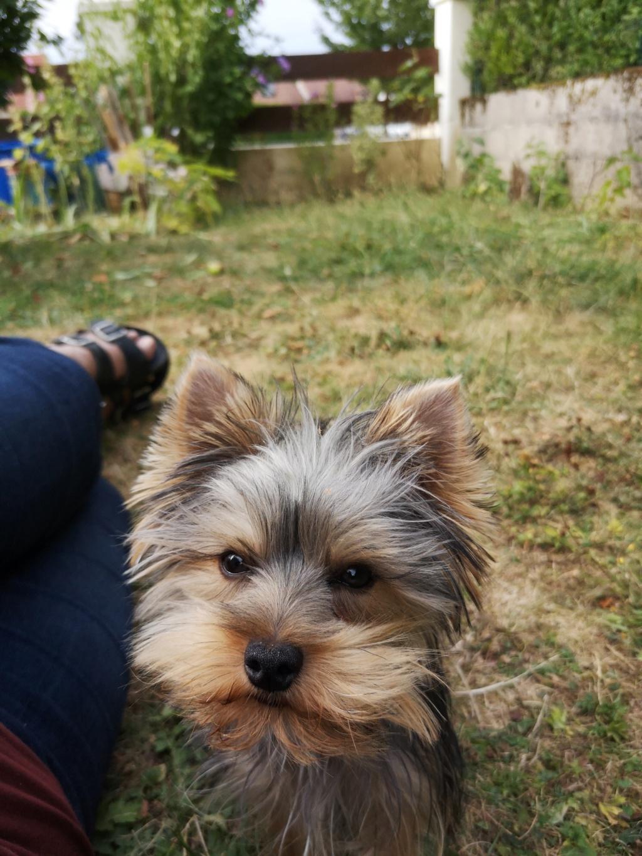 "Oréo Mon petit "" Microbe^^"" ( Yorkshire Terrier ) - Page 6 Oreo_214"