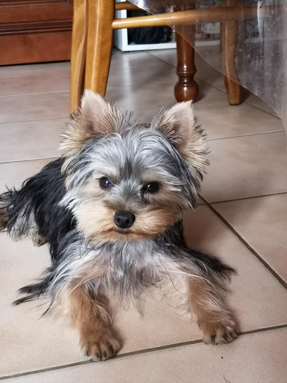 "OREO Ma "" petite souris "" lol ( Yorkshire Terrier) :) - Page 5 Oreo_511"