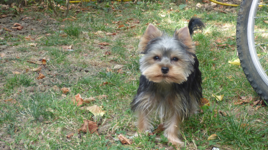 "OREO Ma "" petite souris "" lol ( Yorkshire Terrier) :) - Page 5 Orzoo_13"