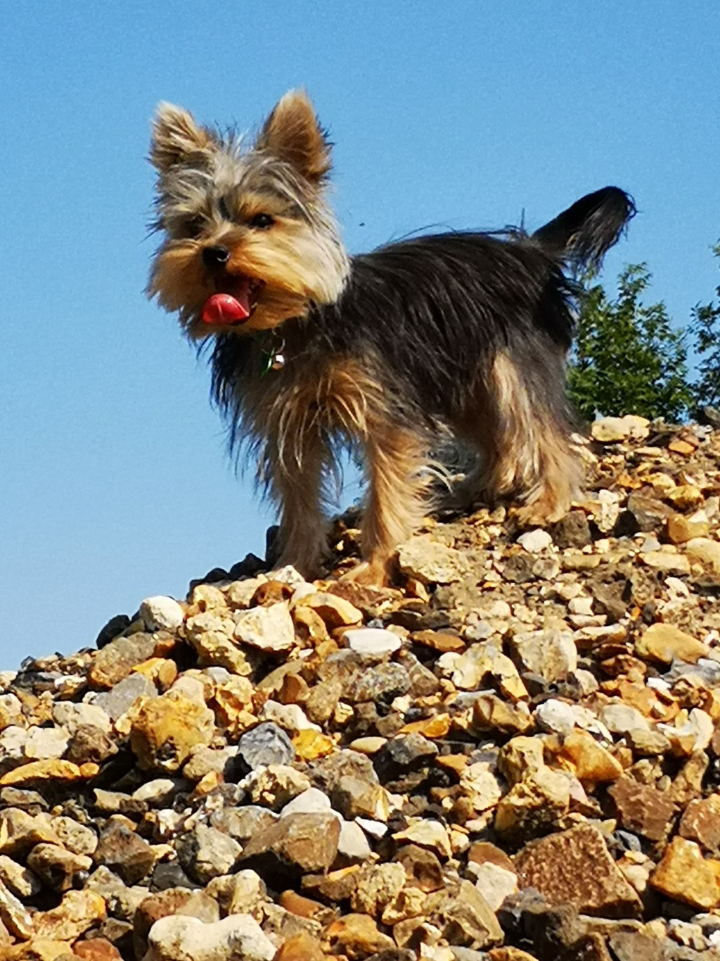 OREO (Yorkshire terrier )  Orzoo_28
