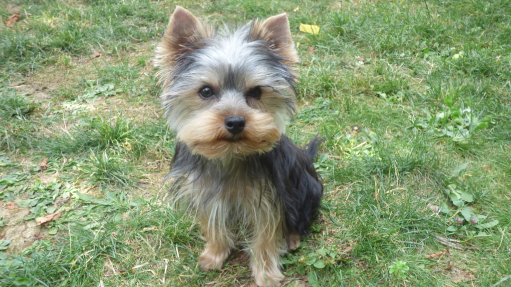 "OREO Ma "" petite souris "" lol ( Yorkshire Terrier) :) - Page 5 P1020812"