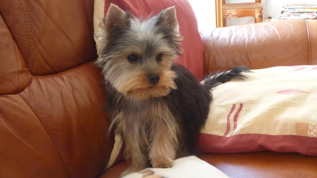 "Oréo Mon petit "" Microbe^^"" ( Yorkshire Terrier ) - Page 6 P1020814"