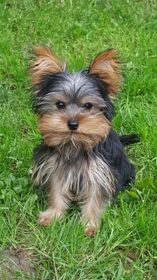 OREO (Yorkshire terrier )  Poupi_10
