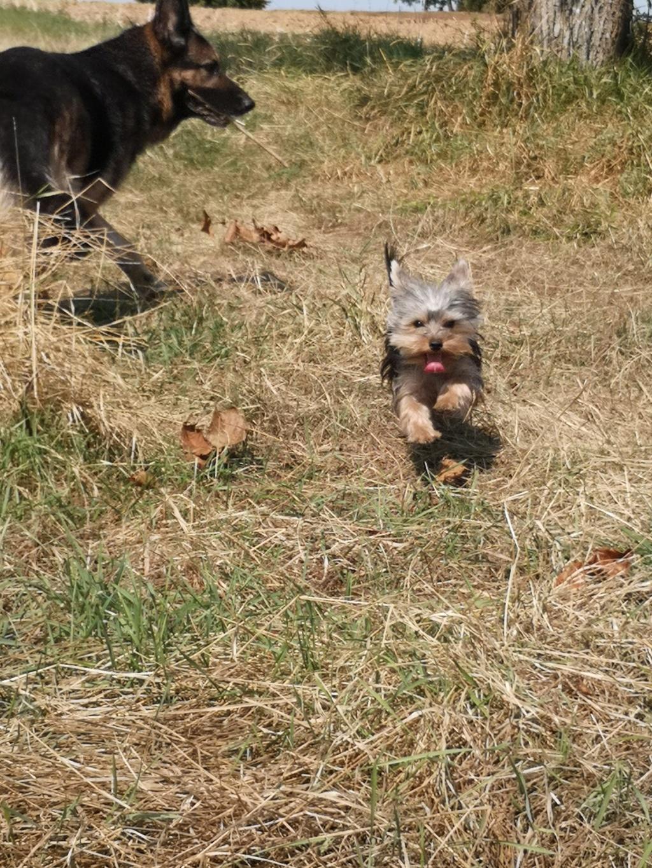 OREO (Yorkshire terrier )  Ptit_b13