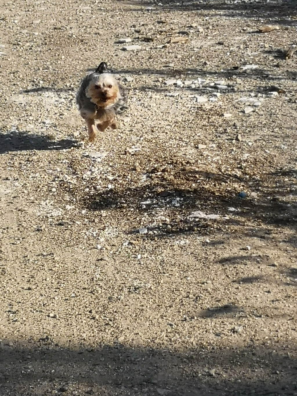 Oréo mon pitre ( Yorkshire terrier) - Page 4 Zebulo14