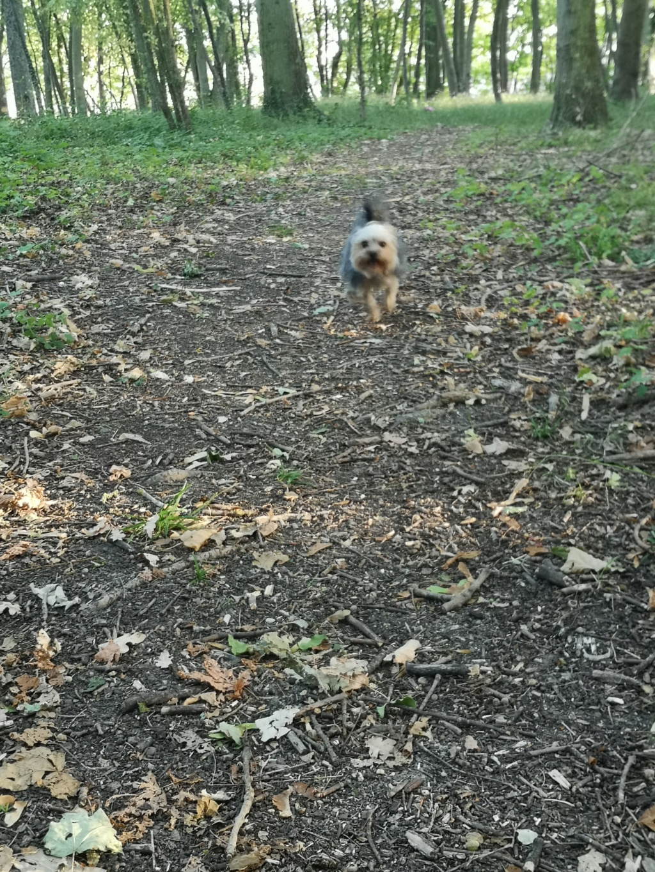 Oréo mon pitre ( Yorkshire terrier) - Page 6 Zebulo16