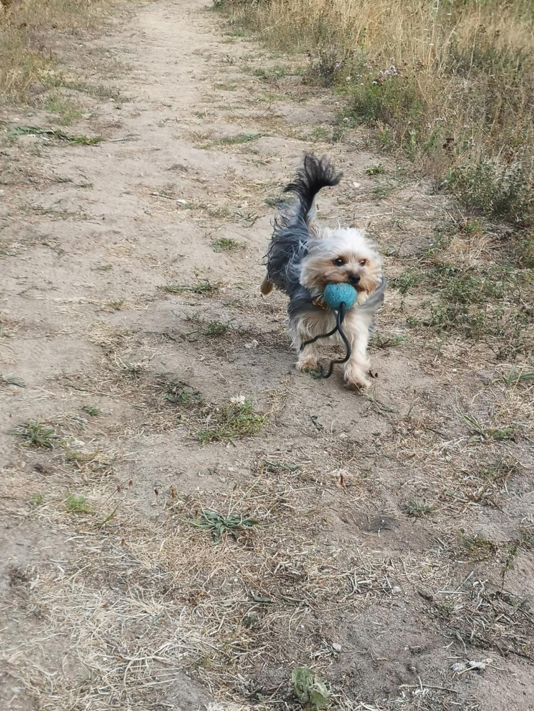 Oréo mon pitre ( Yorkshire terrier) - Page 6 Zebulo17