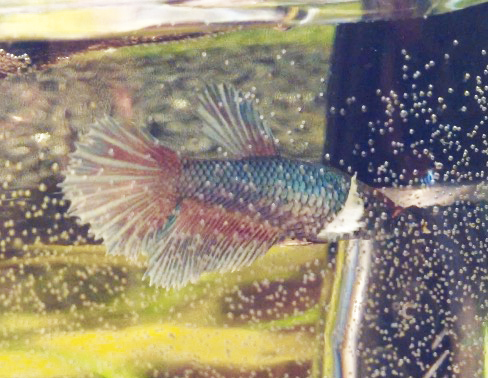 Femelle ou mâle ? bébé Dumbo salamender Poipoi10