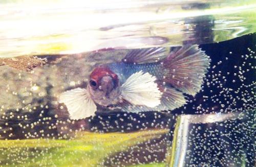 Femelle ou mâle ? bébé Dumbo salamender Poisso10