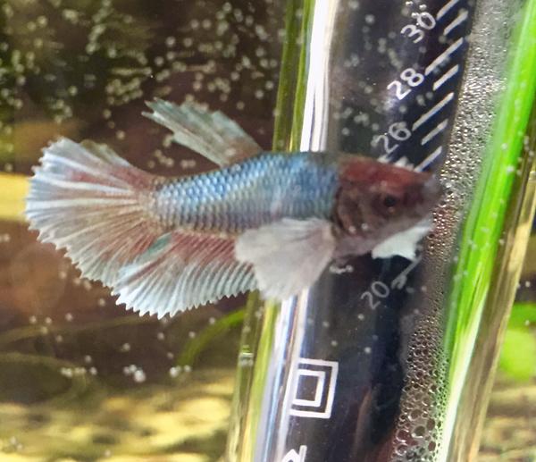 Femelle ou mâle ? bébé Dumbo salamender Poisso12