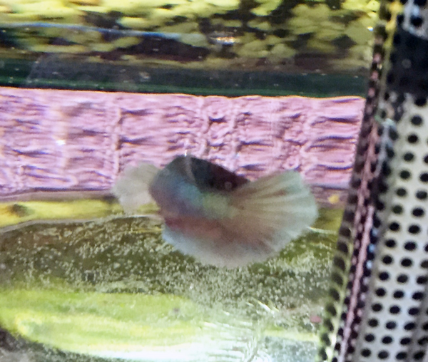 Femelle ou mâle ? bébé Dumbo salamender Poisso13