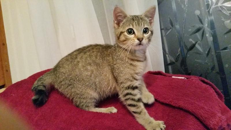 Pépito (ancien Loucky), chaton tigré gris né le 15/10/2015 20151212
