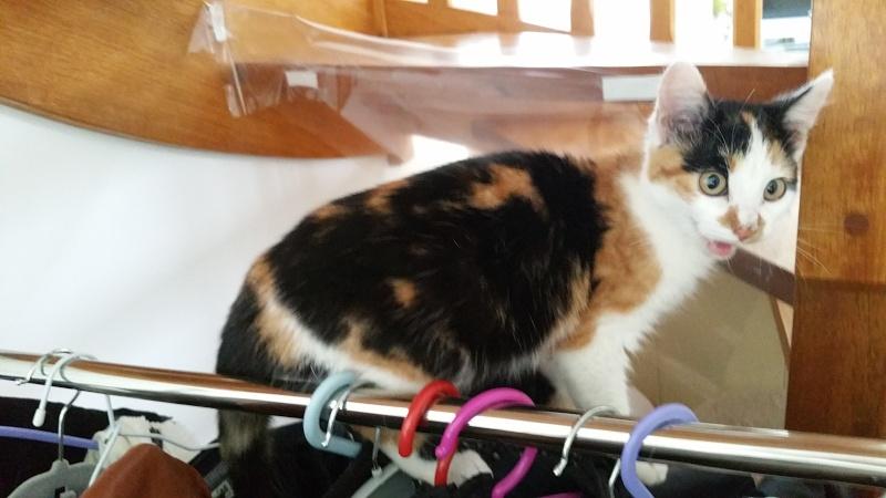 Leeloo, femelle tricolore née le 29 octobre 2015 20160112