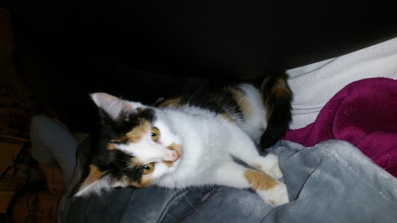 Leeloo, femelle tricolore née le 29 octobre 2015 20160119