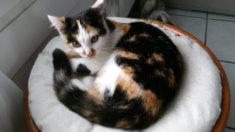 Leeloo, femelle tricolore née le 29 octobre 2015 20160138