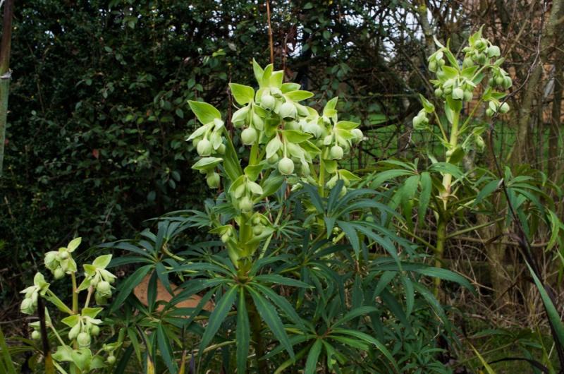 2016, les premières fleurs Helleb11