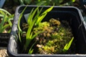 Iris lazica Plantu13