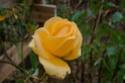 2016, les premières fleurs Rosier11