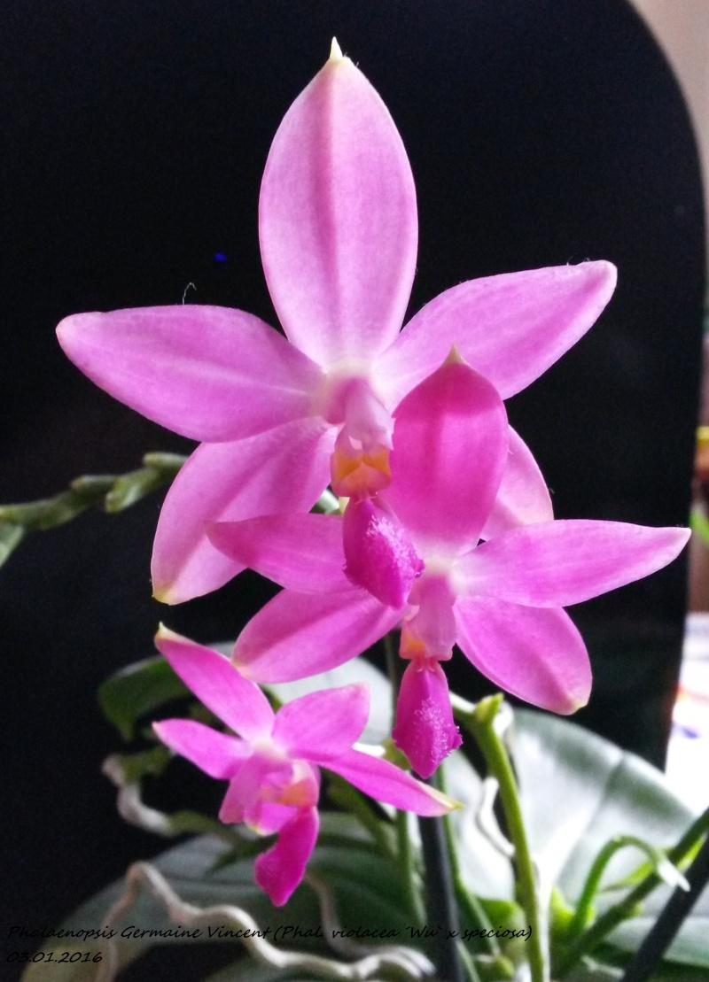 Phalaenopsis tetraspis x violacea (Jennifer Palermo) oder Phal. speciosa x violacea (Germaine Vincent) - Seite 2 20160115