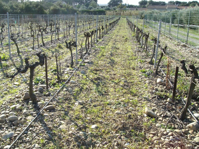 taille de vigne  Imgp1311