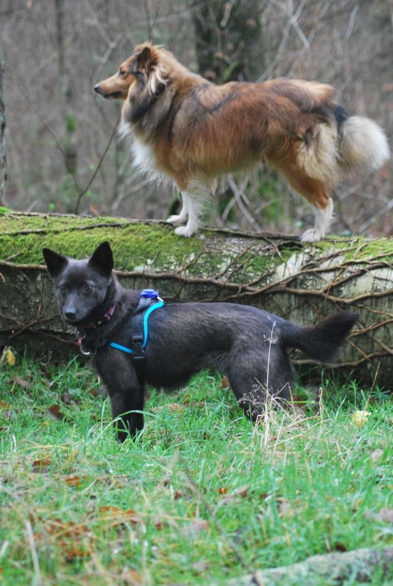 YASKA (ex ELECTRA), femelle croisée, petite taille (Pascani)-En pension chez Lucian - adoptée par Tiffany (Belgique) - Page 3 Dsc_4411